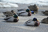 Walt Hester | Trail Gazette<br /> Ducks duck out of wind and snow in a parking lot along Moraine Avenue on Wednesday. Sunshine my return on Friday, but snow slides back into the forcast Saturday.