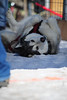 Walt Hester | Trail Gazette<br /> Chanook, an Alaskan Malamute in the 120-pound weight class, rolls over without pulling 480 pounds on Saturday. The promoters of the annual Estes Park Cup weigt pulls point out that dogs know whenthey arte done and can't be forced to pull beyond that.