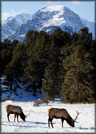 A pair of bull elk forage for food in Endo Valley Friday in shadow of Chapin Mountain.
