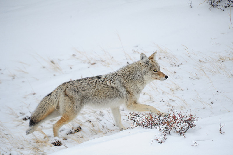 Walt Hester | Trail Gazette<br /> A coyote slips quietly across new snow looking for mice and voles, though would be happy with a rabbit, near the Beaver Meadows entrence on Thursday.