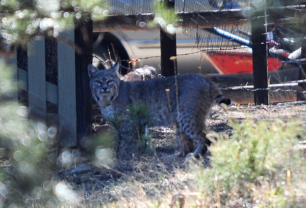 Walt Hester | Trail Gazette<br /> A bobcat watches Carriage Drive on Saturday. The big cats will hunt any time of day for mostly small game.