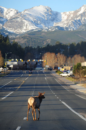 Walt Hester | Trail Gazette<br /> An elk wonders down Big Thompson Avenue on Friday morning as the Easter Weekened begins. The area is not expecting much precipitation until late Wednesday or Thursday.