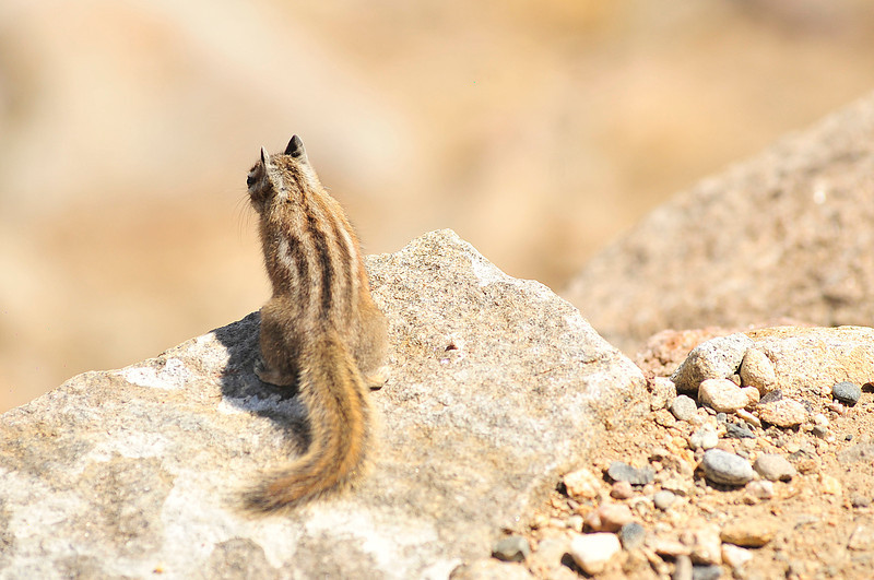 Walt Hester | Trail Gazette<br /> A critter seems to look out over the dry mountainside  at Rainbow Curve on <br /> Monday. Squirrels, picas, chipmonks and marmots are all becoming active as temperatures rise through spring.