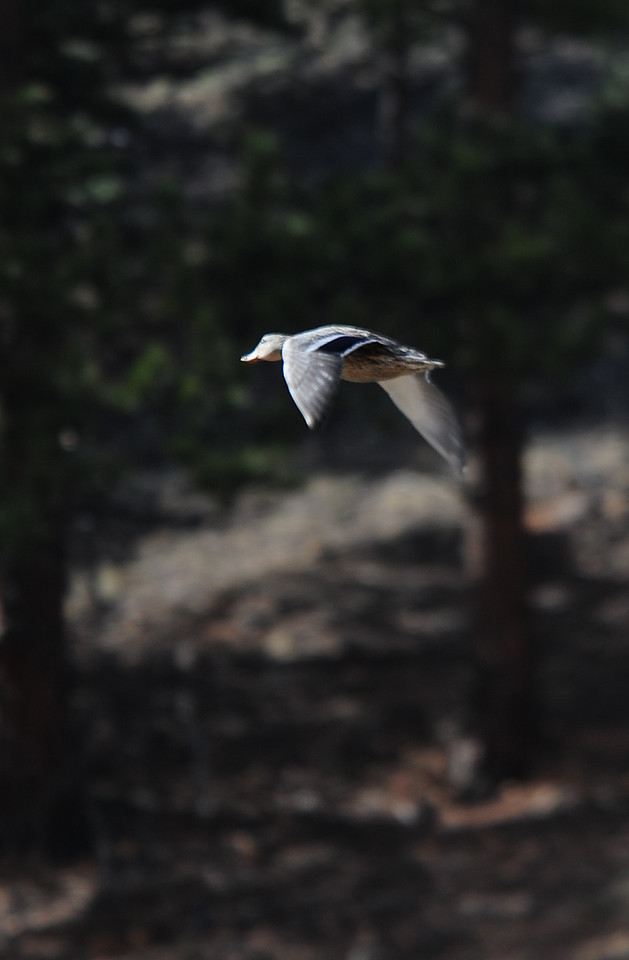 Walt Hester | Trail Gazette<br /> A duck heads out from the Scott Ponds on Tuesday. The waterfowl can be a bit skittish, even when in larger ponds.