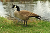 Walt Hester | Trail Gazette<br /> A Canada goose turns a wary eye toward visitors near a pond along Morain Avenue on Wednesday. As the spring continues, the large waterfowl may become more aggressive, as they protect eggs ang hatchlings.