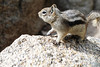 Walt Hester | Trail Gazette<br /> A golden-mantled ground squirrel skitters about in Rocky Mountain National Park on Tuesday. The critter is one of five common squirrel species found in the park, according to their website.