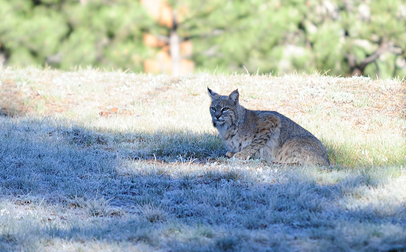 Walt Hester | Trail Gazette<br /> A bobcat lounges in frosty grass near Carriage Drive on Tuesday. The fluffy predators roam all over the Estes Valley.