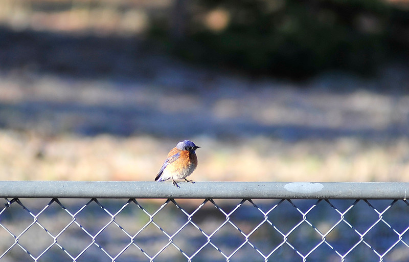 Walt Hester | Trail Gazette<br /> A male western blueburd keeps watch from the top of a fence in Carriage Hills on Tuesday. The western bluebird is larger and has more colors than the male mountain bluebird, which tend to be all blue. Females of both varieties tend to be simply gray.