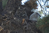 Walt Hester   Trail Gazette<br /> An adult owl looks a bit tired after watching over two new owlets in Rocky Mountain National Park on Monday. In a few short weeks the pair of young owls will be out of the nest and hunting on their own.