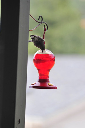 Walt Hester   Trail Gazette<br /> A bird tries to determine how to use a feeder not designed for him in Carriage Hills on Friday.
