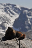 Walt Hester | Trail Gazette<br /> A marmot suns itself on a rock along Trail Ridge Road on Monday. The large rodents didn't seem to mind the company of visitors so early in May.