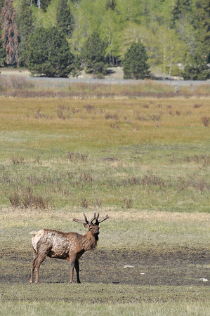 Walt Hester | Trail Gazette<br /> A bull in in Horseshoe Park grows fuzzy, new antlers on Monday. Antlers are dropped by the bulls and regrown every year.