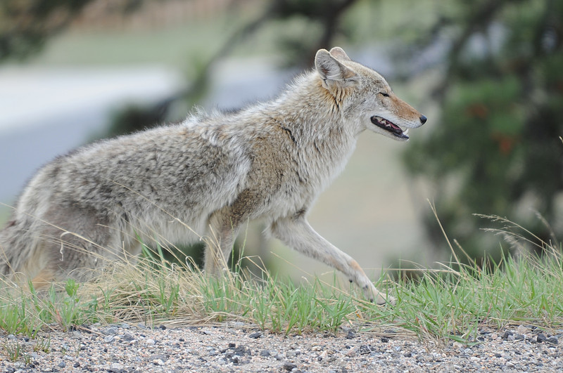 Walt Hester | Trail Gazette<br /> A coyote closes its eyes before troting across South St. Vrain Avenue on Sunday. Wildlife roams all over the valley, occasionally disrupting traffic.