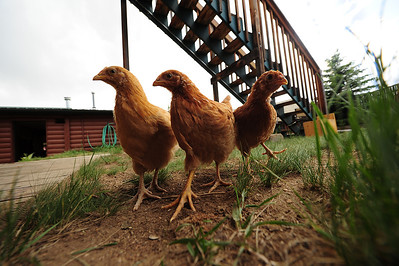 Walt Hester | Trail Gazette A trio of buff orpington wander the yard behind the Estes Park Feed store on Wednesday. the quiet, little birds are hardier than many breeds and tend to be friendlier.