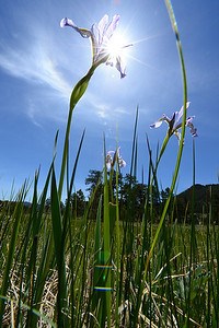 Walt Hester | Trail Gazette Wild irises finally appear around Estes Park after weekend rains. The irises generally bloom in wetter, drainage areas.