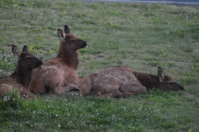 Walt Hester | Trail Gazette<br /> Elk calves lie down near the Estes Park Medical Center late Saturday evening. Calves are mobile at this point of the summer, so keep an eye open while driving.
