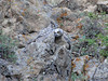 A young owlet is reunited with its mother after a harrowing ascent up a nearly verticle rock face.
