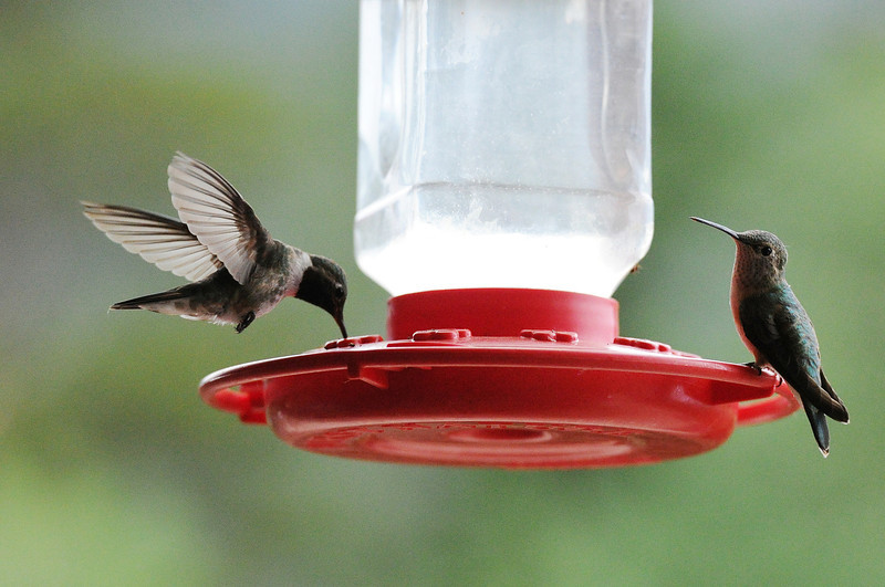 Walt Hester | Trail-Gazette<br /> Hummingbirds enjoy some sweet relief at the Boldpate Inn on Tuesday. The historic hotel has many feeders on its deck, to the delight of patrons.