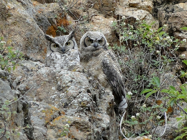 One owlet already high on the cliff with its mother.