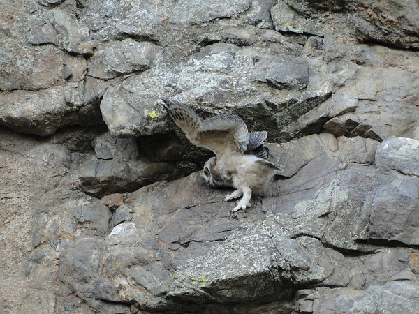 The young owlet finds the going difficult on the nearly verticle rock face.