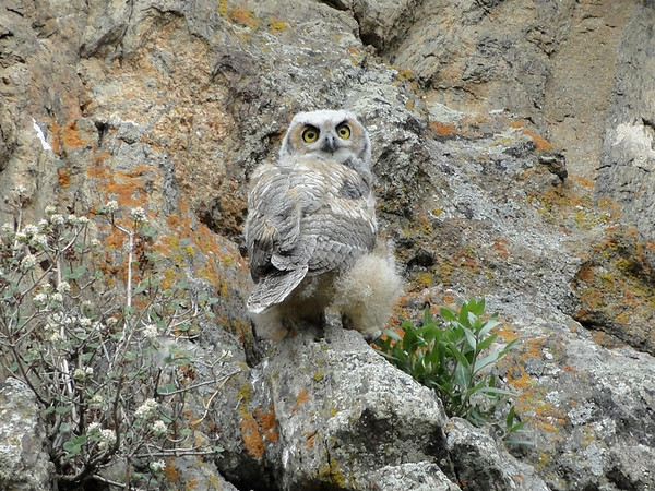 The second owlet begins the journey to its mother.