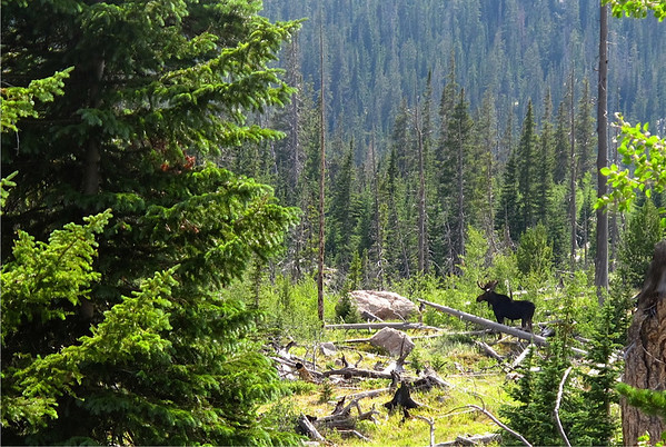 A moose moves through the brush near Ouzel Lake.