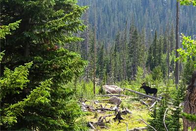 A moose moves through the brush near Ouzel Lake.