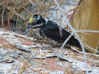This determined woodpecker was hard in early July near Ouzel Lake.