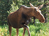 A cow moose moves through the wetlands on the west side of Rocky Mountain National Park.