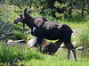 A moose calf nurses from its mother near a Rocky Mountain stream.