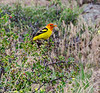 A western tanager is enjoying some wax currents in Rocky Mountain National Park.