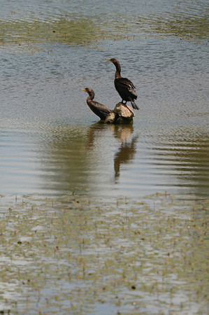 Walt Hester | Trail Gazette<br /> A pair of cormorants hangs out on the largest of the Scott Ponds on Wednesday. The birds are related to pelicans and can hold their breath for two minutes while looking for fish.