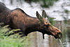 Walt Hester | Trail Gazette<br /> A cow moose pulls her snout out of the Colorado River headwaters on Monday. The reclusive creatures like dense foliage close to deep streams and ponds where their long legs can touch bottom, but preditors can't get close.