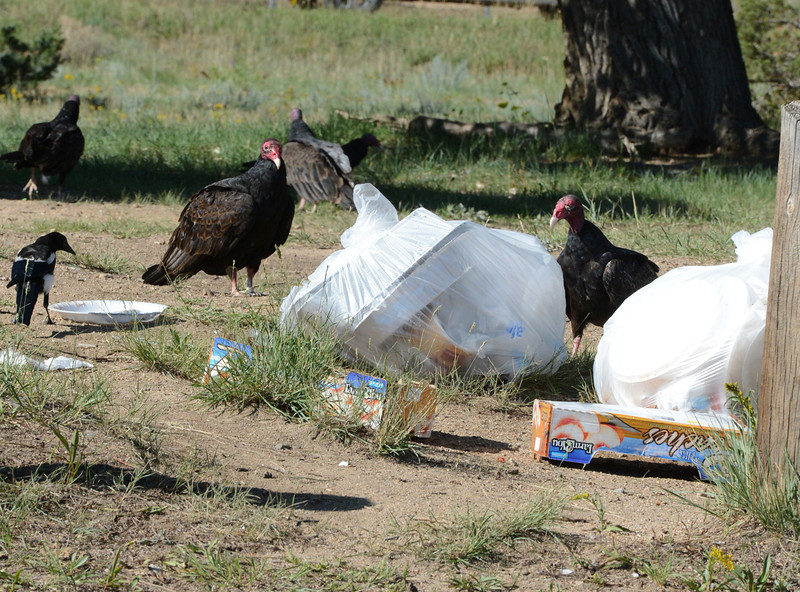 Turkey vultures and magpies forage for a meal near a trash bin on the south shores of Lake Estes