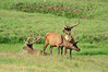 Walt Hester | Trail Gazette<br /> Bull elk look around the headwaters of the Cache la Poudre River at park visitors on Monday. Elk are the most common of the large herbivores in the national park.