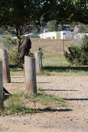 A vulture perches on a post near a picnic area on the shores of Lake Estes. The vulture was one of many scavaging garbage that was strewn about following a busy weekend.