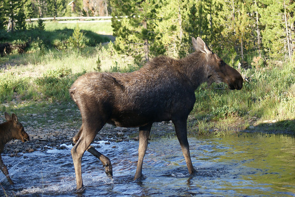 A mother moose and her calf cross a small stream on the west side of Rocky Mountain National Park.