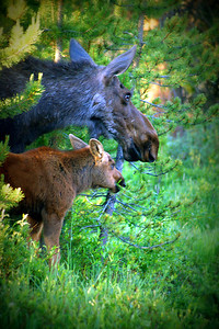 A cow and calf moose step out of the undergrowth on the west side of Rocky Mountain National Park.