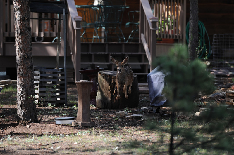 Walt Hester | Trail-Gazette<br /> A fawn bounces around a yard in Carriage Hils on Monday. Elk and deer newborn are all over the area.