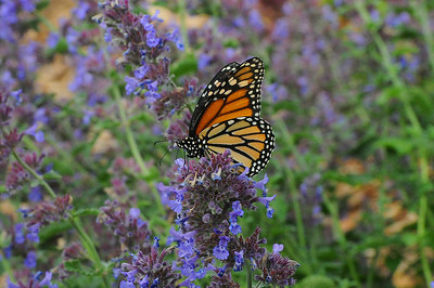 Walt Hester | Trail-Gazette A monarch butterfly feeds on blooms at the Estes Park visitor center on Wednesday. The insects are a vital part of the ecosystem, helping pollinate the wildflowers in the area.
