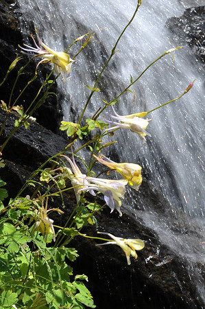 Walt Hester | Trail-Gazette<br /> Yellow columbines lean out in front of a water feature in Riverside Plaza on Tuesday. The plaza is a nice respite from the bustle of downtown.