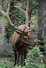 Walt Hester | Trail-Gazette<br /> A large bull munches along the Old Fall River Road on Satruday. With recent rain, the big herbivores are getting a dietary boost.