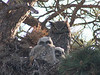 A family of great horned owls huddle together in their nest near the sheep lakes area of Rocky Mountain National Park.