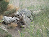 A badger has captured a ground squirrel in the Carriage Hills area of Estes Park.