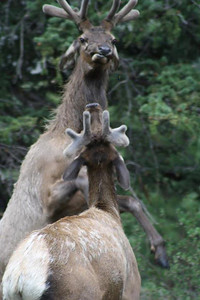 Two bull elk engage in an early summer boxing match in Rocky Mountain National Park.