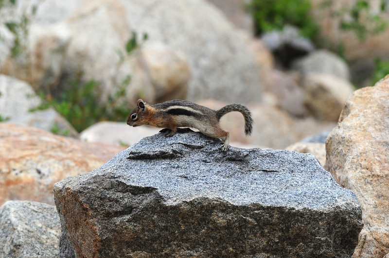 Walt Hester | Trail-Gazette<br /> A golden-mantled ground squirrel looks for a landing spot in the Alluvial Fan on Wednesday. The squirrels are one a a large variety of squirrels in the national park.