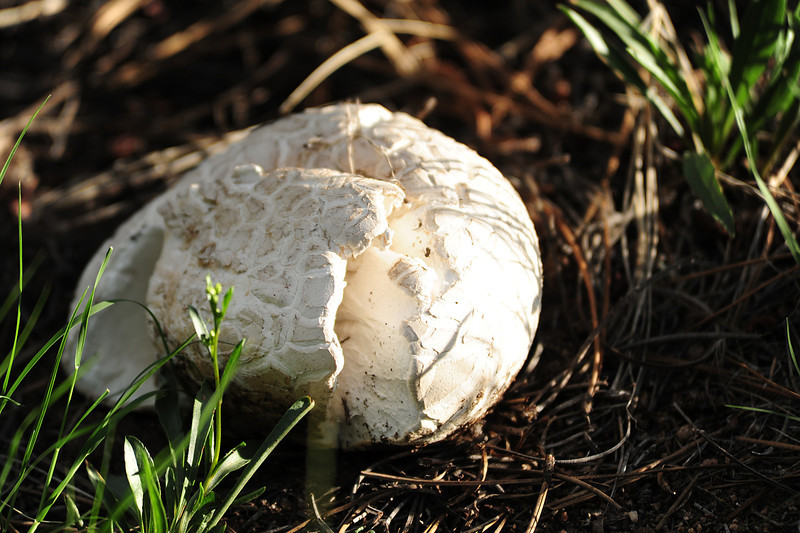 Walt Hester | Trail-Gazette<br /> A large, five-inch-wide mushroom sticks out of the grass on the Knoll north of downtown on Wednesday. The afternoon rain has brought out the fungi around the valley.