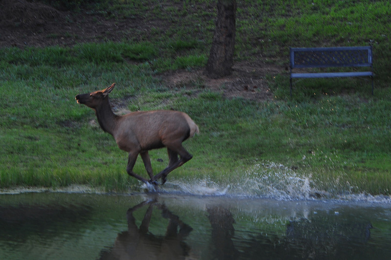 Walt Hester | Trail-Gazette<br /> An elk cow splashes through the Scott Pond on Wednesday. A small herd hung around the ponds at the end of the long, warm day.