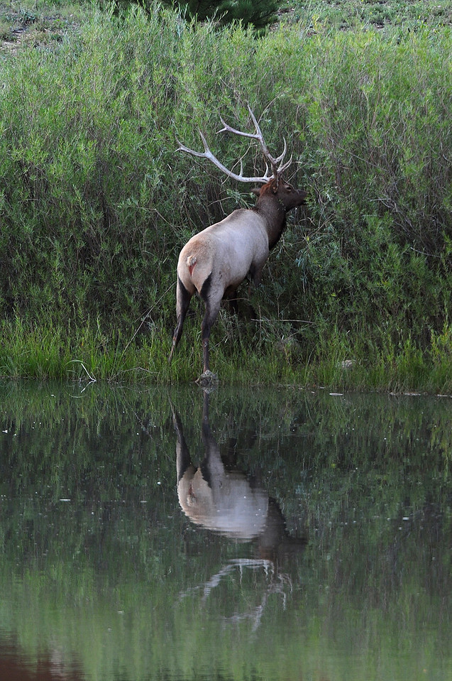 Walt Hester | Trail-Gazette<br /> A bull elk thrashes about in the willows along the banks of the Scott Ponds on Wednesday. Bulls scrape velvet off of their antlers as autumn approaches.