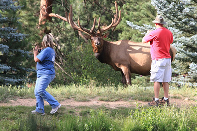 Courtesy Photo - Michael Hancock Tourists get too close to an enormous bull elk near the YMCA of the Rockies last week. Not only are such approaches illadvised, they are illeagal; do not approach, chace of harass wildlife.